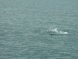dolphins-splash-in-torbay-clipper-cruises-howdy-008