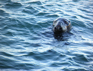 sea-lion-off-torbay-clipper-cruises-howdy-156